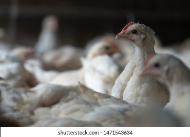 Group of healthy broiler chicken in poultry