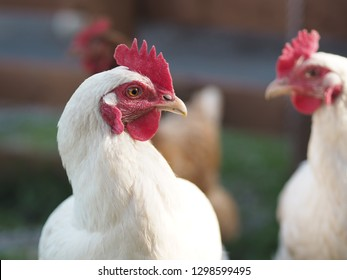 A group of hens gather in an open garden. A white hen with a red hen sits at the forefront. Behind her sits another white and red hen and one brown hen with a red head.