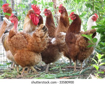 Group of hens with rooster on the farm yard