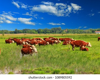 A group of Hereford cows being rounded up for branding