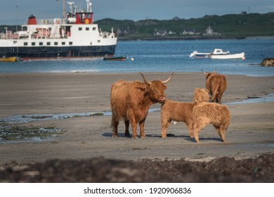 Group of Highland Cattle on the beach shore line with Iona in the background. Ferry boats blurred in the background leaving the harbour. Adults and baby cattle. Latin name Bos taurus taurus