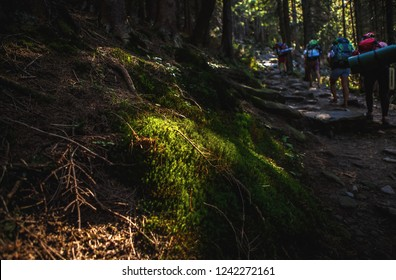 Group of hikers with backpacks walking through pine tree forest in Carpathian mountains.Tourists trek through mountain wood.Instagram vintage film filter