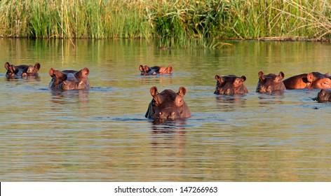Group of hippopotamus (Hippopotamus amphibius) in water, southern Africa
