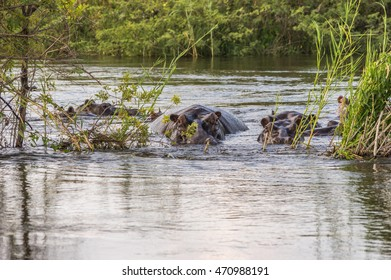 A group of Hippopotamus resting and grazing on the banks of the Zambezi River Zambia