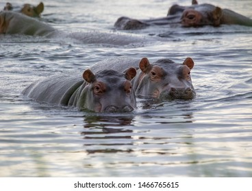 A group of Hippopotamus in the water of the Kwando River at the Bwabwata Nationalpark at Namibia during summer