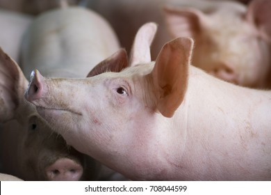 Group of hog waiting feed. Pig indoor on a farm yard in Thailand. swine in the stall. Close up eyes and blur. Portrait animal.