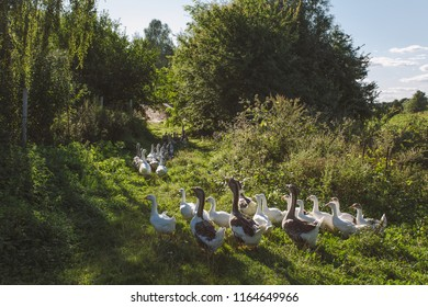 Group of home geese coming back home in evening after being feeding all day on pasture in field or meadow. Eco farming concept. Horizontal color image.