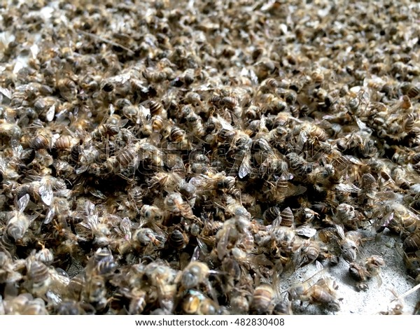 Group of honey bees dead on the floor.