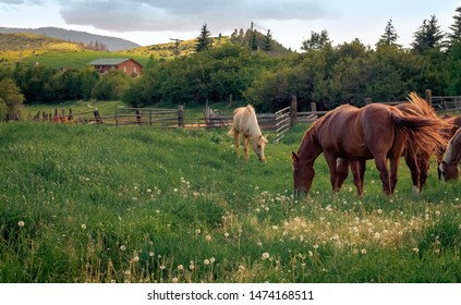 A group of horses grazing on dandelions in a fenced in meadow.