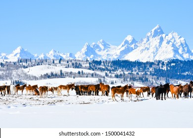 group of horses standing on the field of snow and mount Teton 's background, grand Teton national park in Wyoming, USA.