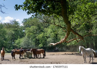 A group of horses is standing in a sandy paddock in the woods under the trees in the sun, some eating hay