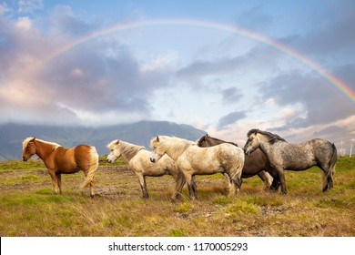 group of horses while grazing in the iceland plain under the rainbow in the summer time