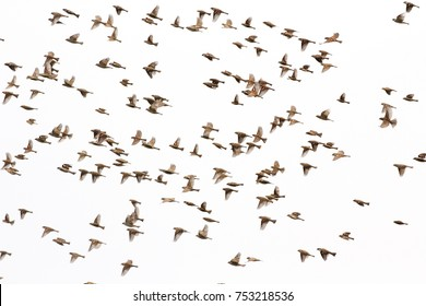 Group of house sparrow (Passer domesticus) flying on white background