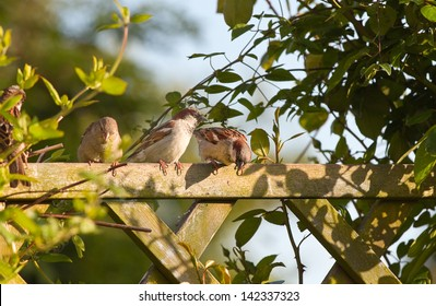 Group of House sparrows sitting on garden fence with climbing plants in evening sun