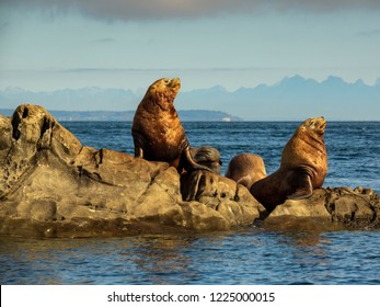 A group of huge male Steller Sea Lions photographed in Southern British Columbia.