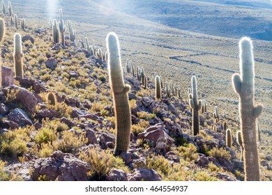 Group of huge Trichoreus cactii on a hill in the surroundings of Salar de Uyuni salt flat, Bolivia