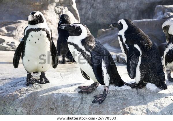 group of humboldt penguins