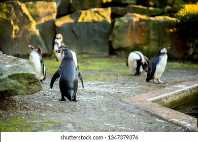 Group of humboldt pinguins by water in zoo - selective focus