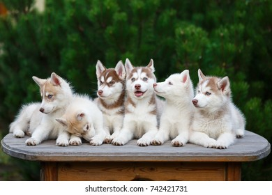 Group of husky puppies on a table