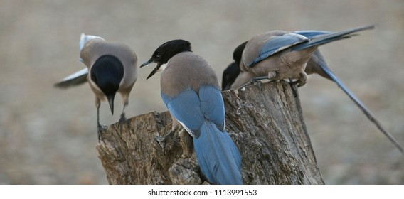 Group of Iberian Magpie (Cyanopica cooki) at dusk, Sierra Morena, Andalucia, Spain.