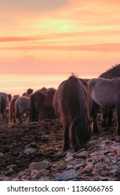 Group of Icelandic horse during sunset ocean in background Iceland