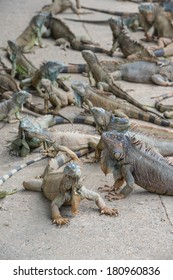 a group of Iguanas relaxing