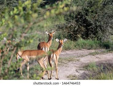 A group of Impalas in the savannah grass of the Bwabwata Nationalpark at Namibia during summer