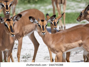 A group of Impalas in the savannah grass of the Etosha National park in northern Namibia during summer