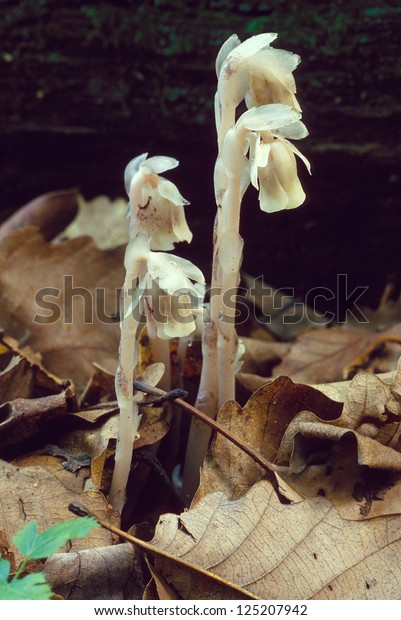 Group of Indian Pipe Mushrooms