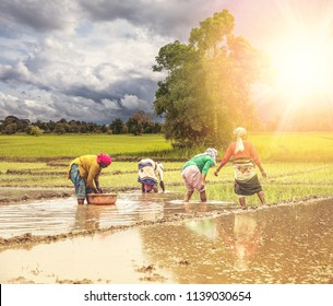 Group of Indian village woman farmers working in a paddy field during monsoon season in month of June. Toned photo. Square image.
