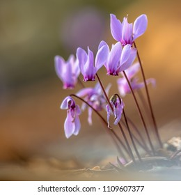 Group of Ivy-leaved cyclamen or sowbread (Cyclamen hederifolium) in bloom on bright background