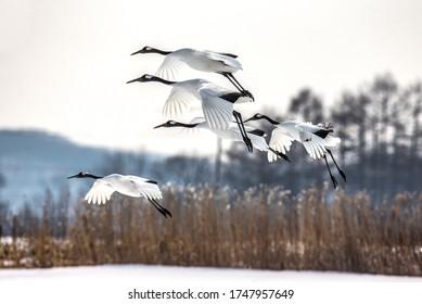 Group of Japanese cranes in flight. Japan. Hokkaido. Tsurui.