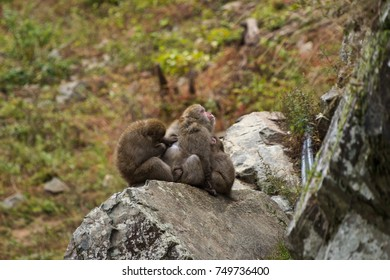 group of japanese macaque, snow monkey resort, Japan