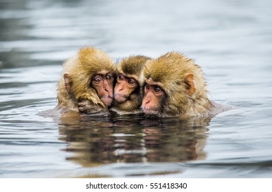 Group of Japanese macaques sitting in water in a hot spring. Japan. Nagano. Jigokudani Monkey Park. An excellent illustration.