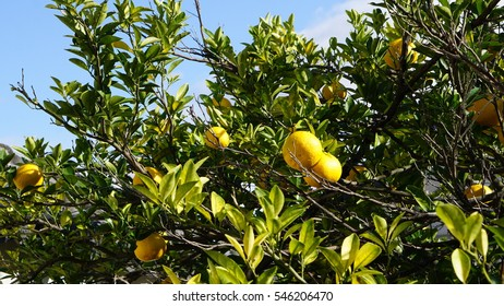 The group of Japanese orange fruits hanging on their leaves and tree. They have yellow color and the leaves are green and yellow. Contrast with the clear blue sky.