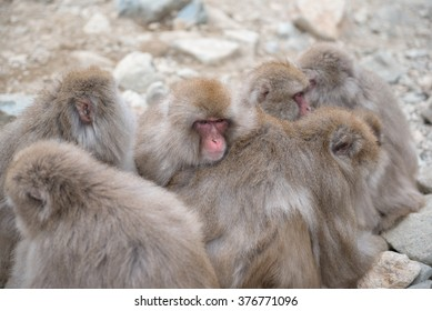Group of japanese snow monkeys cold feeling  before snowfall in the park, Jigokudani Wild Monkey Park, Yamanouchi-machi, nagano ken, Japan.
