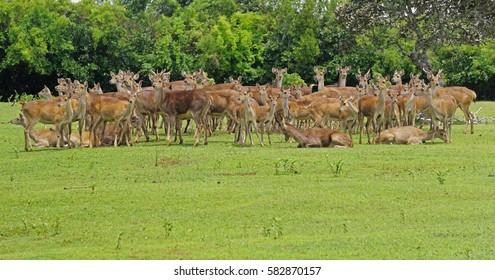 Group of java deer in Mauritius raised for hunting in natural habitat