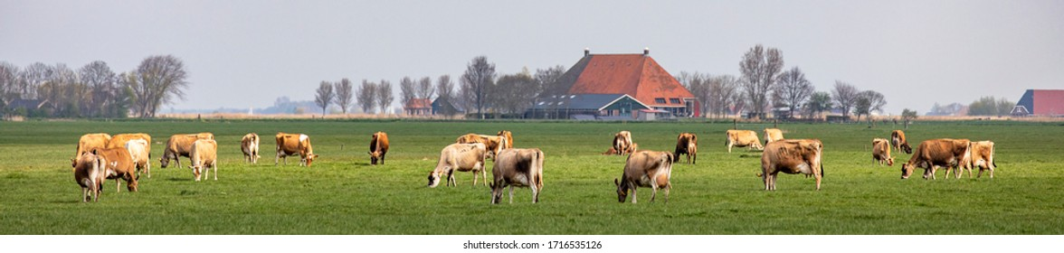 Group of jersey cows grazing in the pasture, peaceful and sunny in Dutch Friesian landscape of flat land with a blue sky and a straight horizon, wide panoramic view