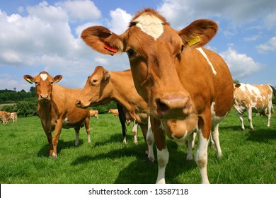 A group of Jersey cows in pasture photographed at close quarters