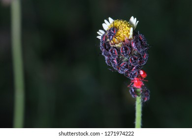 Group of jewel bugs nymph or metallic shield bugs nymph (Scutelleridae) on Coatbuttons, Mexican daisy (Tridax procumbens)