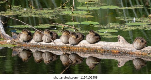 Group of juvenile mallard(Anas platyrhynchos) resting in sun after swimming, Bialowieza Forest, Poland, Europe
