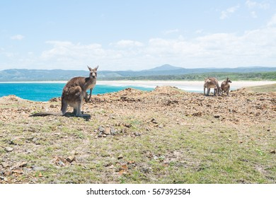 Group of Kangaroo at Coffs Harbour, NSW, Australia.