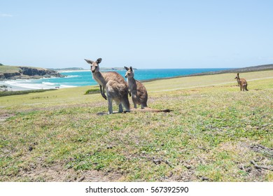 group of Kangaroo at on the field and sea background Coffs Harbo