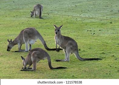 Group of Kangaroos Feeding
