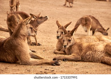 Group of kangaroos resting, Australian wildlife