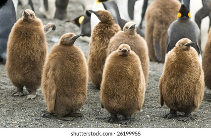 Group of King penguin chicks