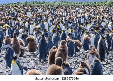 A Group of King Penguins - Aptenodytes patagonicus - On the Salisbury plains of South Georgia Island.