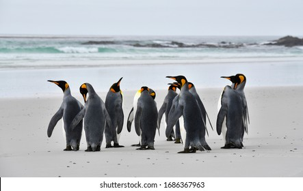 Group of king penguins at the beach in Volunteer Point