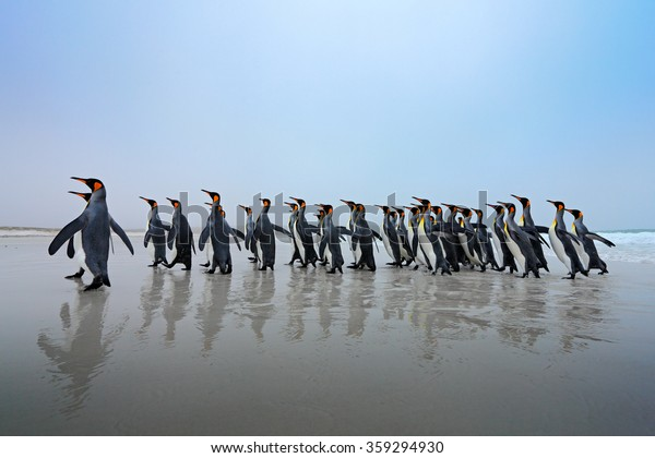 Group of king penguins coming back from sea to the beach with wave and blue sky in background, Falkland Islands.