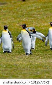 A group of King Penguins out for a walk at Volunteer Point, Falkland Islands.